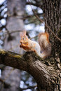 Free Wild Squirrel Eats A Nut Stock Photo - 8689870