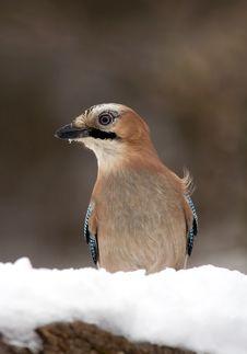 Free Bird Jay Stock Image - 8680351