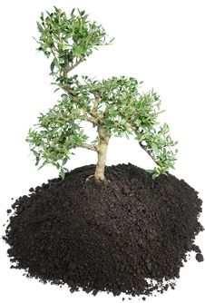 Bonsai Tree On White Stock Photography