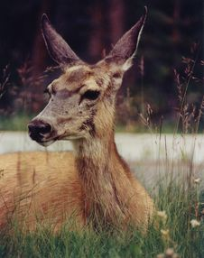 Free Fawn Stock Photos - 8683743