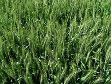 Free Green Wheat Stock Photo - 8684400