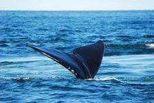 Free Rightwhale Tail Royalty Free Stock Photo - 8684645