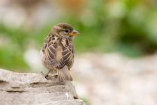 Free House Sparrow (Passer Domesticus) Royalty Free Stock Photos - 8685398