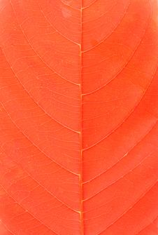 Free Red Leaf Royalty Free Stock Photo - 8685955
