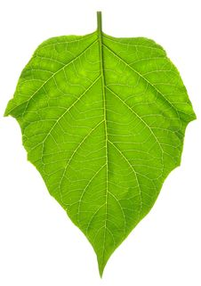 Free Leaf Stock Photo - 8686080