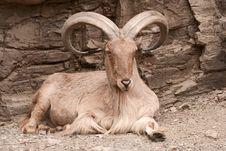 Free Goat Stock Photo - 8686200