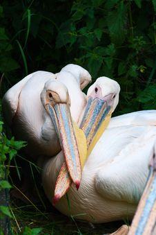 Free Two Pelicans Stock Image - 8686201