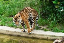 Free Tiger Stock Images - 8686224