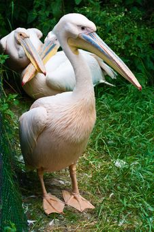 Free Pelicans Royalty Free Stock Image - 8686226