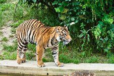 Free Big Tiger Royalty Free Stock Photo - 8686235