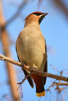Free Waxwings Royalty Free Stock Photography - 8686837