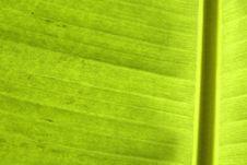Free Closeup Of Banana Palm Leaf Royalty Free Stock Photo - 8687095