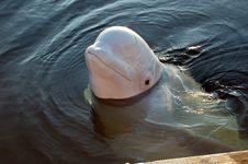 Free White Whale Stock Photos - 8687593