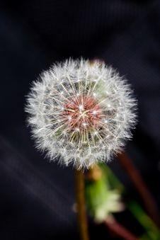 Free Dandelion Stock Photos - 8689503
