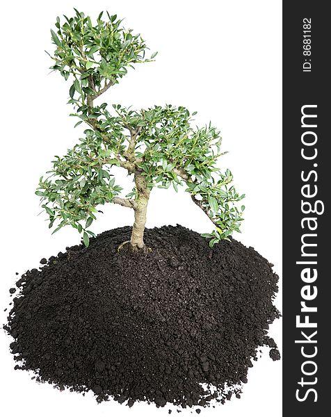Bonsai Tree On White Free Stock Images Photos 8681182 Stockfreeimages Com