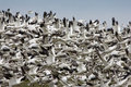 Free Migratory Geese Stock Photo - 8697610