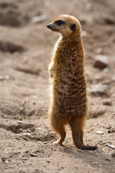 Free Cute Meerkat Stock Photos - 8691163