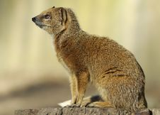 Free Yellow Mongoose Royalty Free Stock Photo - 8691395