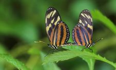 Free Pairing Heloconius Butterflies Stock Photo - 8691470