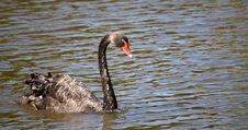Free Black Swan (Cygnus Atratus) Stock Photos - 8692053