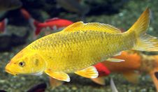 Free Goldfish 1 Royalty Free Stock Images - 8692519