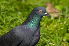 Free Columba Livia, Rock Dove Royalty Free Stock Image - 8692916
