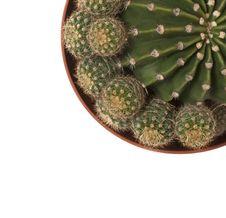 Free Echinopsis Cactus Royalty Free Stock Photos - 8693348