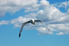 Free Seagull Royalty Free Stock Photo - 8694845