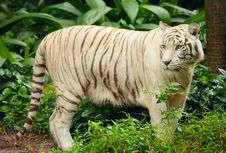 Free White Tiger Stock Images - 8696924