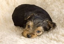 Free Sleepy Yorkshire Terrier Puppy Royalty Free Stock Images - 8697399