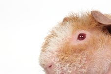 Free Guinea Pig Stock Images - 8698974