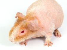 Free Guinea Pig Stock Images - 8699094