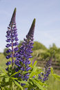 Free Lupines 1 Royalty Free Stock Photos - 877198