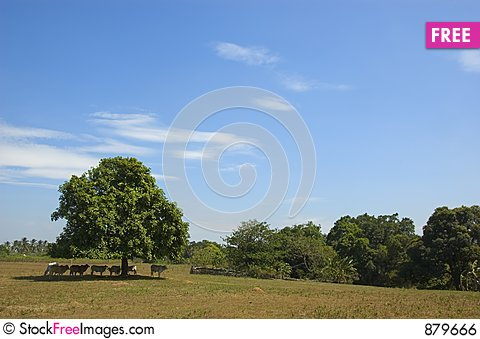Free Cows In The Shade Royalty Free Stock Image - 879666