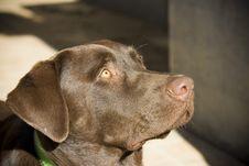 Free Chocolate Labrador Royalty Free Stock Photos - 870168