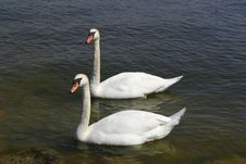 Free Swans Royalty Free Stock Photos - 871008