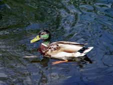 Free Wild Duck Stock Photo - 871770