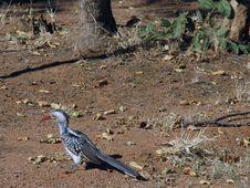 Free Hornbill Bird Stock Photography - 872552