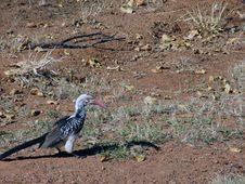 Free Hornbill Bird Royalty Free Stock Photo - 872555