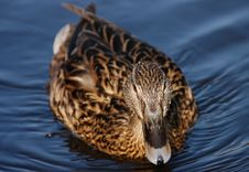 Free Female Duck Stock Photography - 873082
