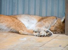 Free Lynx Royalty Free Stock Photos - 873228