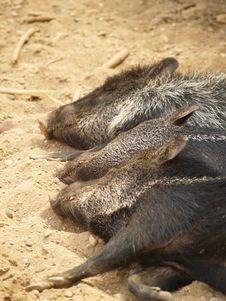 Free Sleeping Warthogs Royalty Free Stock Image - 873246
