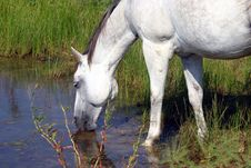 Free Drinking Gray Horse Royalty Free Stock Photography - 874037