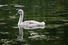 Free Baby Swan Stock Photos - 874443