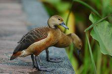 Free Ducks Stock Photography - 874912