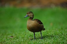 Free Duck Royalty Free Stock Image - 874916