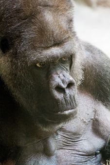 Free Gorilla Stock Images - 875524
