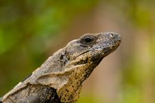 Free Iguana Portrait Stock Image - 876161