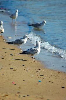 Free Seagull Royalty Free Stock Photo - 876215