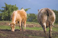 Free Cows Stock Photography - 876392